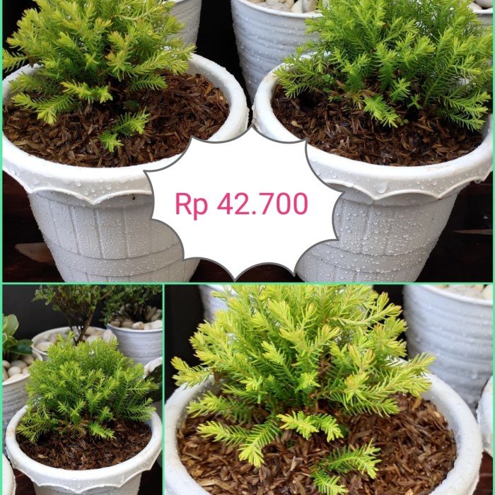 Jual Pohon Pot Kecil Kota Depok Dhesyadarru B17 Tokopedia