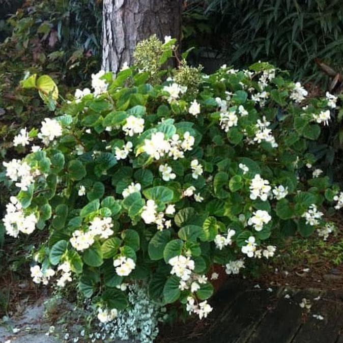 Jual Tanaman Hias Murah Indooe Begonia Putih Bunga Kecil Tumpuk Bibit Jakarta Pusat Aisgalleri87 Tokopedia