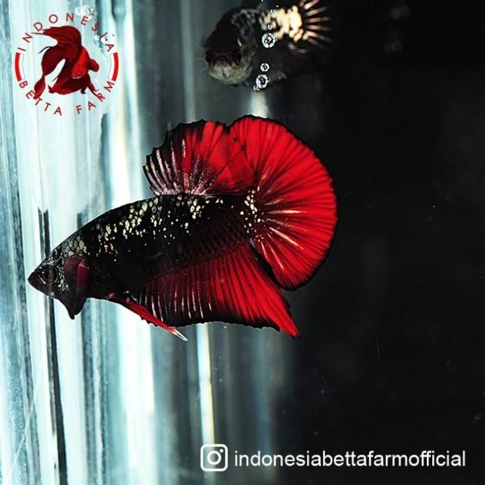 Jual Ikan Cupang Avatar Gold Vampire Top Grade Jantan Male 03 Jakarta Utara Cometmart Tokopedia
