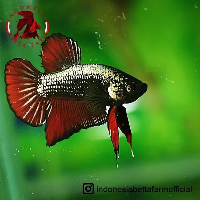 Jual Ikan Cupang Avatar Gold Vampire Top Grade Jantan Male 01 Jakarta Barat Bebepets Tokopedia