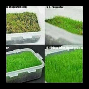 Jual Bibit Benih Carpet Seed Mini Hair Grass Tanaman Aquascape Aquarium Air Jakarta Pusat Nanda 1 Tokopedia