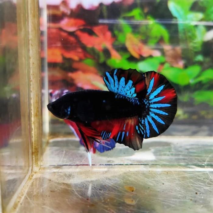 Jual Ikan Cupang Avatar Super Black Jantan Ikan Hias Aquarium Kota Depok Entercity Tokopedia