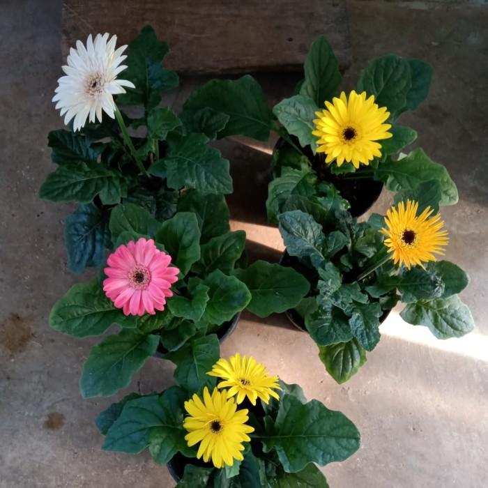 Jual Tanaman Hias Bunga Gerbera Import Kota Batu Midjan Florist Tokopedia