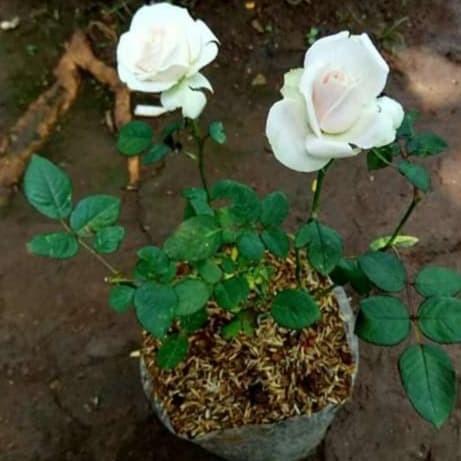 Jual Tanaman Bunga Mawar Putih Kab Bogor Zikri Flora Tokopedia