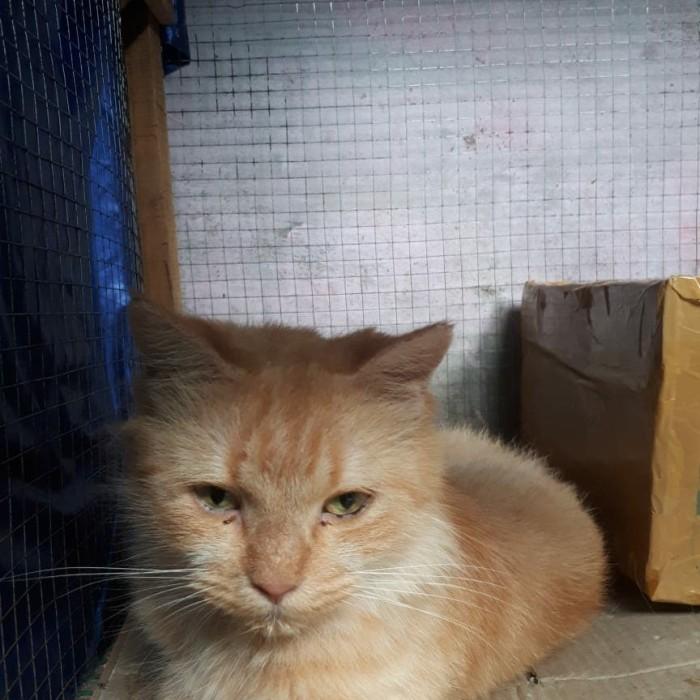 Jual Kucing Persia Medium Hamil 3 Bulan Minat Silahkan Butuh Uang Kota Palangkaraya Hape Bekas Amanah Tokopedia