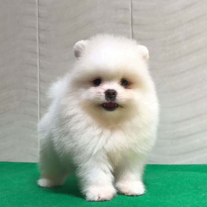 Jual Anjing Mini Pom Kab Tasikmalaya Ferry Shop7 Tokopedia