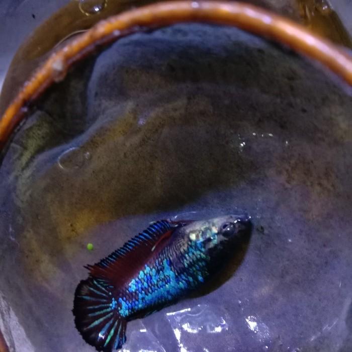 Jual Hiasan Aquarium Ikan Cupang Avatar Jakarta Barat Beauty Cupang Tokopedia