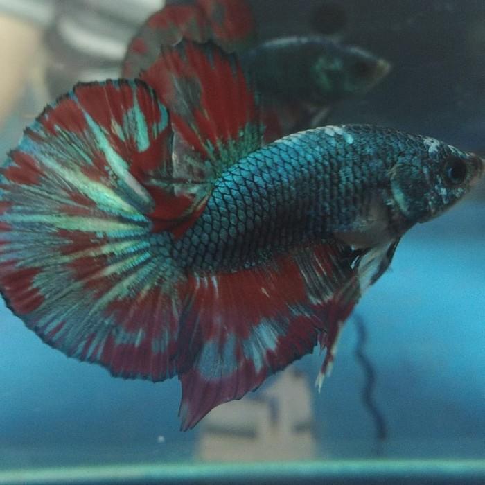 Jual Ikan Cupang Hias Hmpk Fancy Murah Meriah Kota Tangerang Selatan Ad Hobby Tokopedia