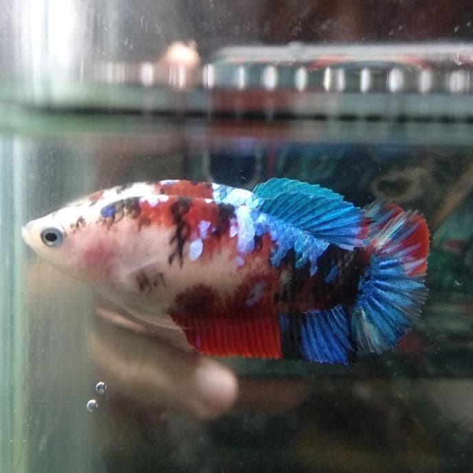 Jual Ikan Cupang Female Koi Galaxy 11 Gowell047 Jakarta Selatan Gowellll Tokopedia