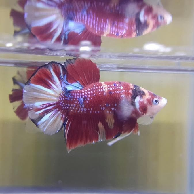 Jual Ikan Cupang Plakat Nemo Cooper Gowell047 Jakarta Selatan Gowellll Tokopedia