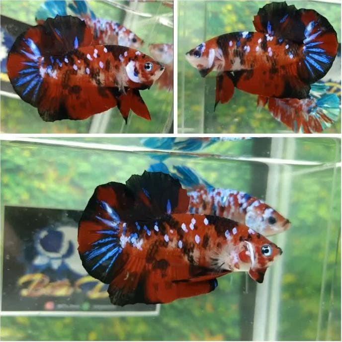 Jual Ikan Cupang Hias Plakat Nemo Koi Multicolor Kelas Harga 175k Kab Bekasi Ramadhanistore01 Tokopedia
