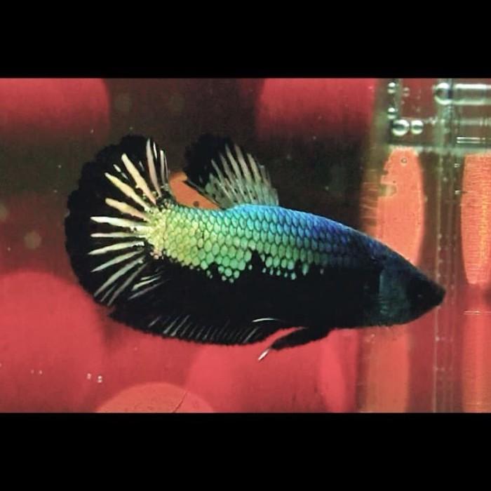 Jual Cupang Avatar Gold Kota Depok Cuan Betta Fish Jakata Tokopedia