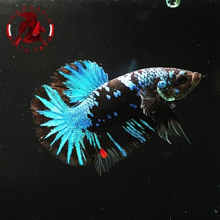 Jual Ikan Hias Cupang Avatar Gordon Blue Jantan Male 01 Jakarta Utara Cometmart Tokopedia
