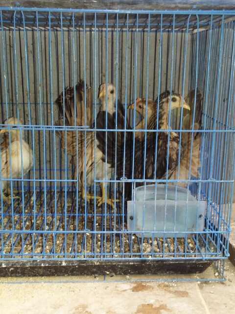 Anakan ayam serama asli turunan malaysia!!