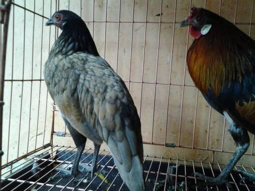 harga Ayam Hutan Merah Sumatera Tokopedia.com