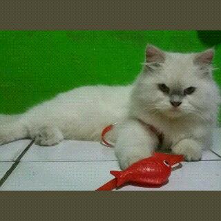 kucing persia himalaya kitten