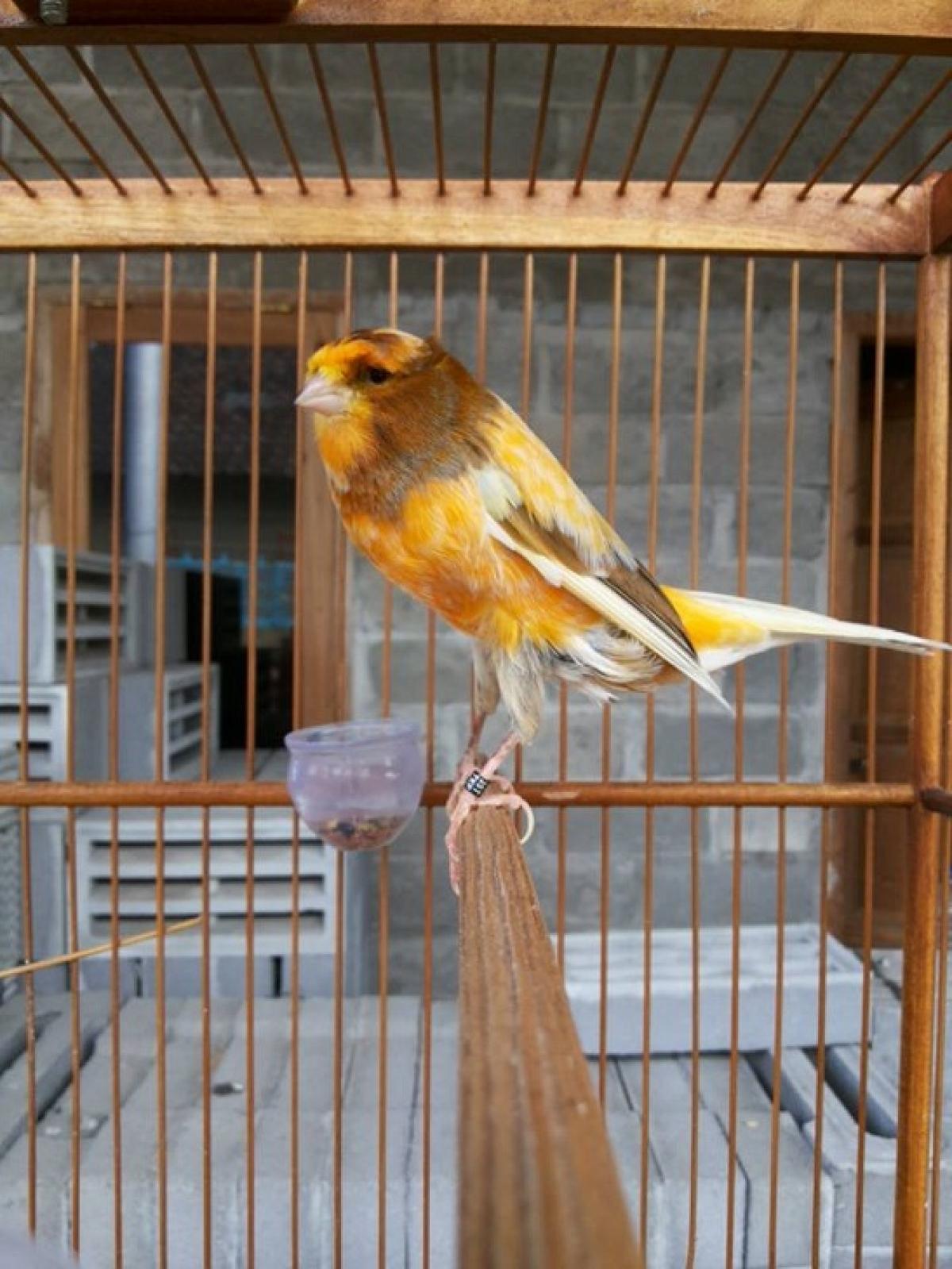 Jual Di Jual Burung Kenari Ysr Jerman Maupung Impor Lokal Tokoburungkicau Tokopedia