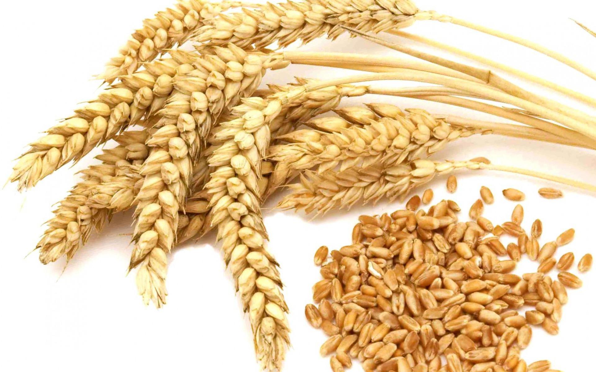Hasil gambar untuk gandum