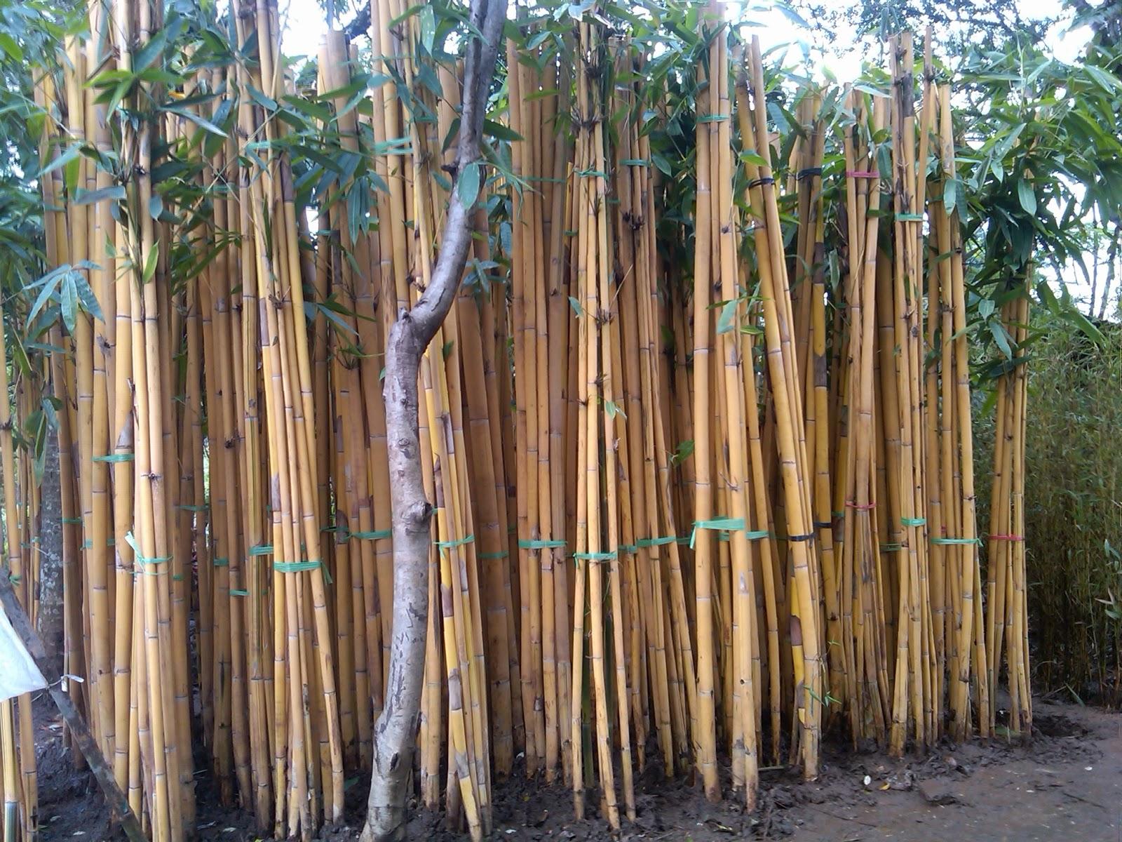 Jual Jual Pohon Bambu Jepang Dan Bambu Kuning Murah