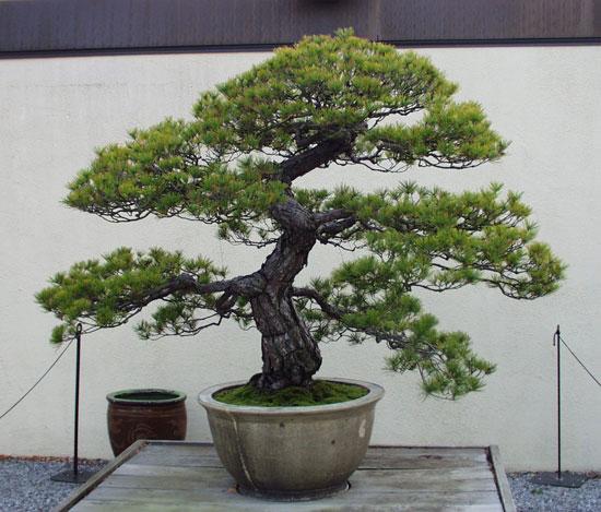 Jual italian cypress bonsai benih bibit biji seeds vast for Bonsai italia