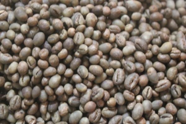 harga [1kg] premium peaberry luwak coffee - Green beans Tokopedia.com