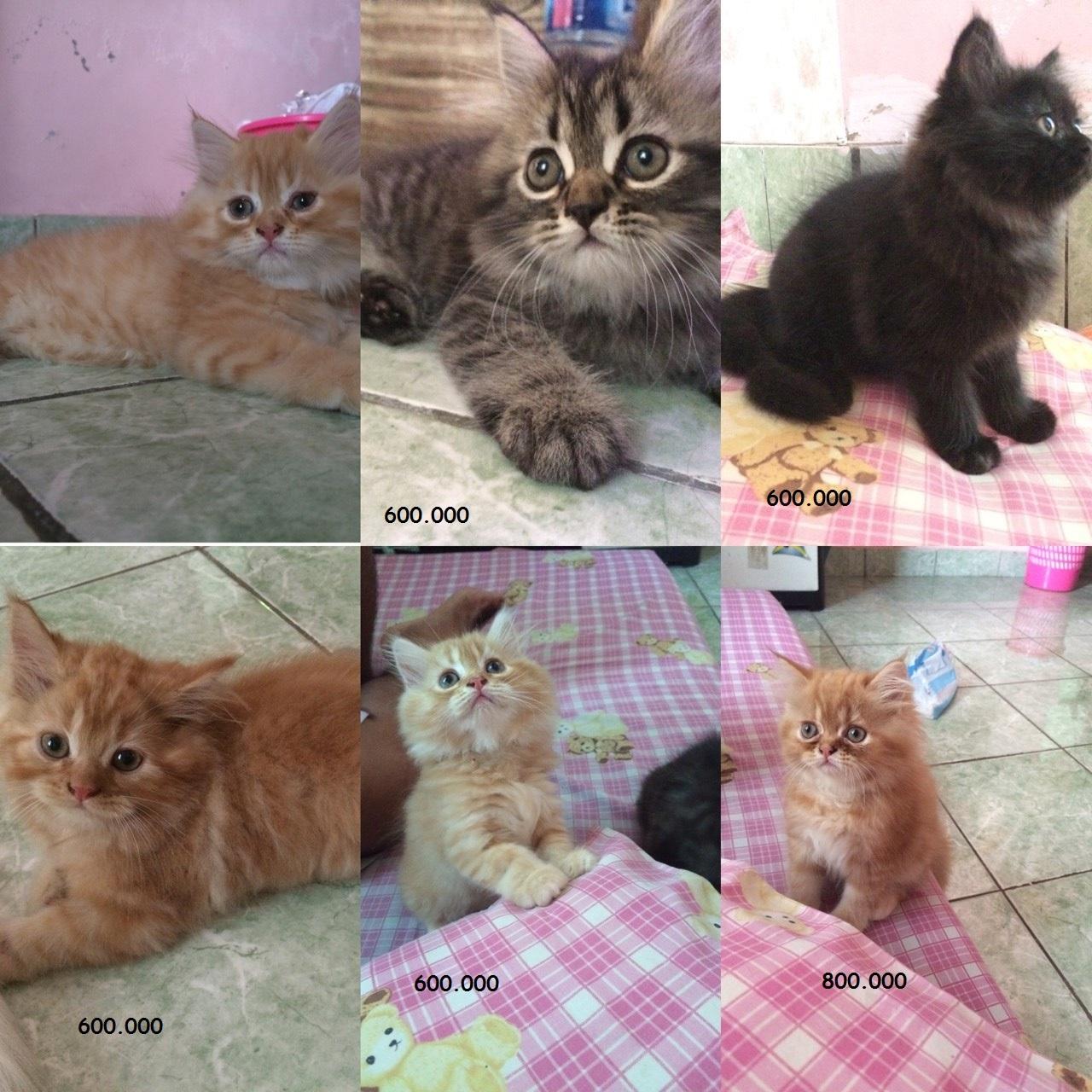 harga kucing persia Tokopedia.com