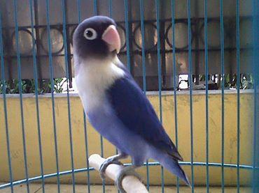 harga Love Bird Violet Dark Factor Jual Cepat! Tokopedia.com