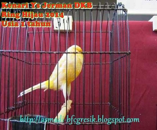 Burung Kenari YS DKB Ring Import Thn 2014 (GACOR FULL)