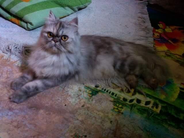 harga Kucing Persia Peaknose Turun Indukan Tokopedia.com