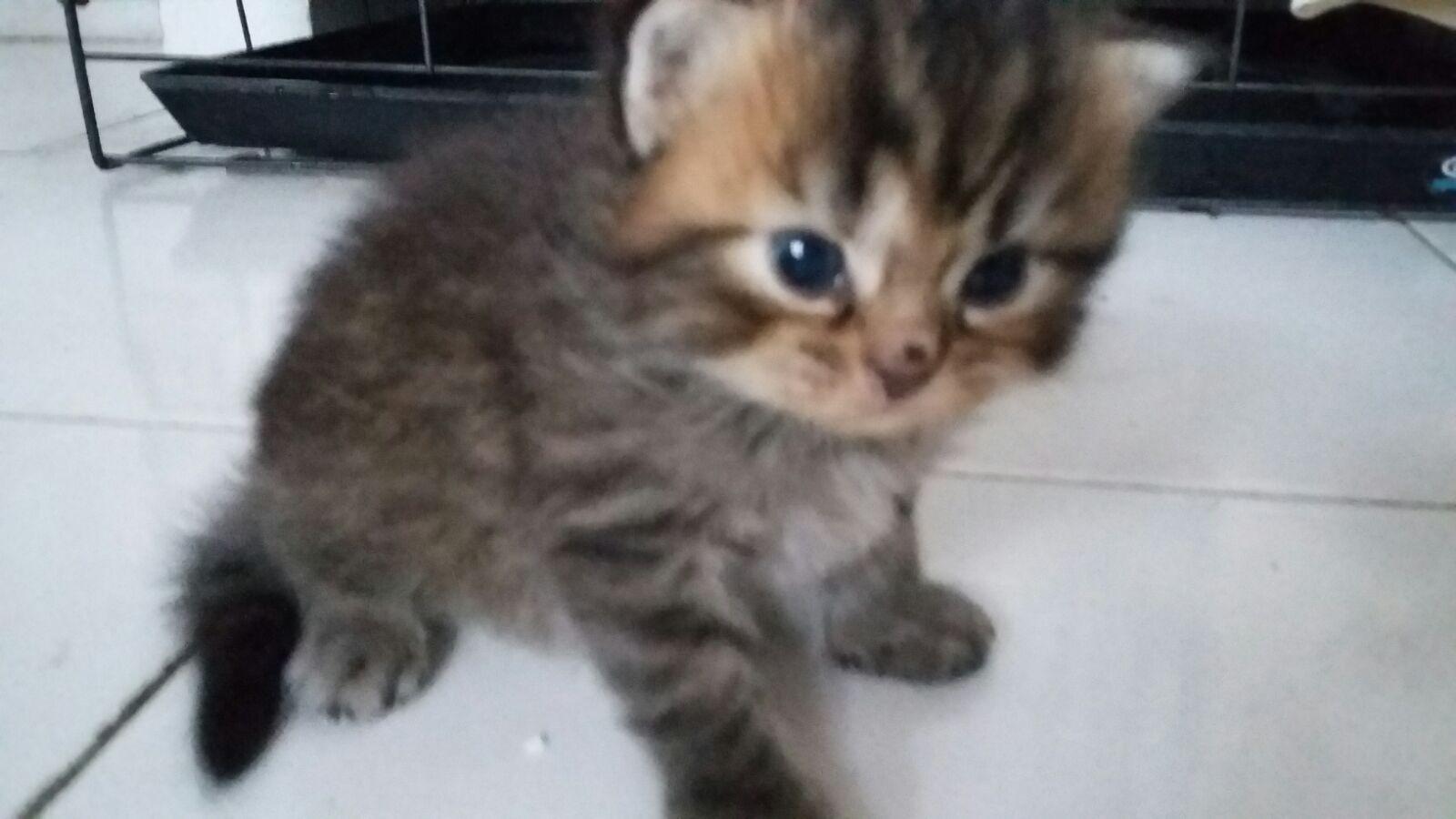 Jual Kucing Persia Flatnose Blue Eyes Kitten 3 Bulan