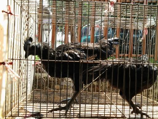harga Ayam Cemani Remaja 100% Asli Kwalitas Super Keturunan Ningrat Tokopedia.com