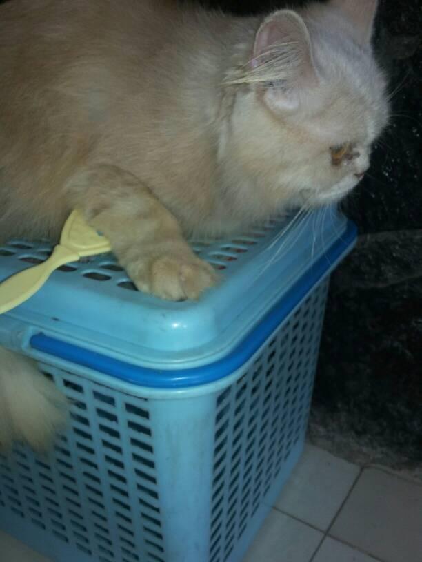 harga kucing persia flatmed jantan Tokopedia.com