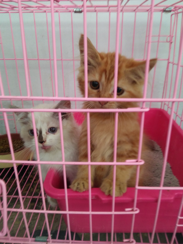 Unduh 93+  Gambar Kucing Persia Umur 4 Bulan Terlihat Keren Gratis