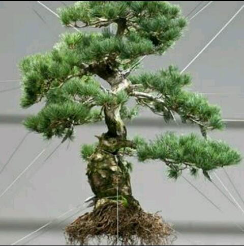 Benih Jack Pine 2 Biji Non Retail BibitBunga com Jual Bibit bunga bonsai .