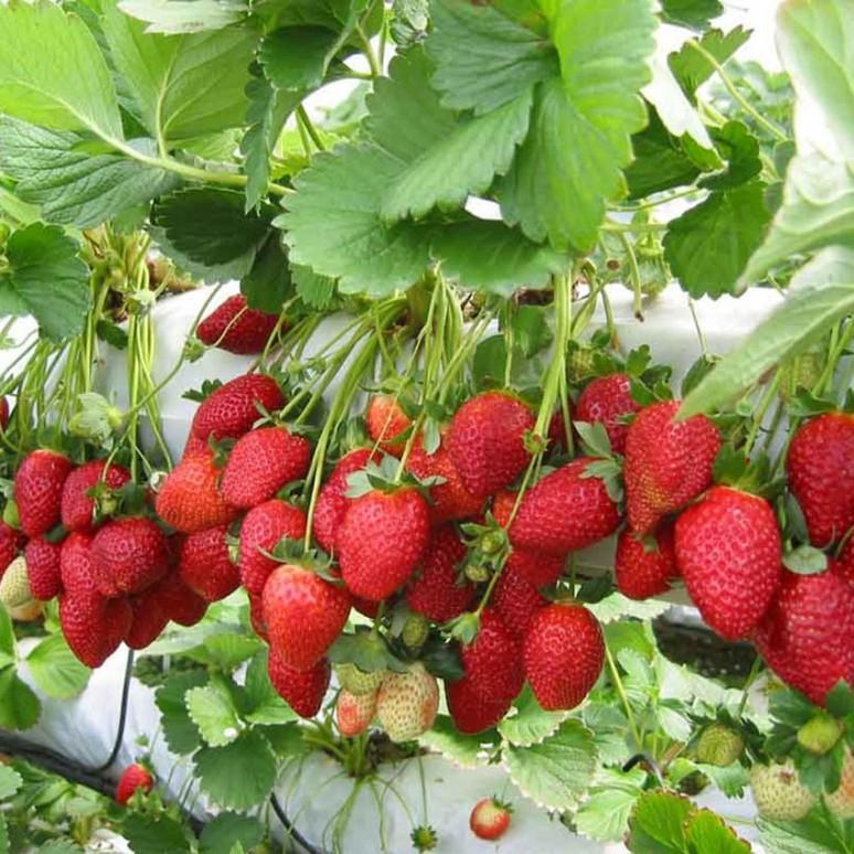 Hasil gambar untuk tanaman strawberry