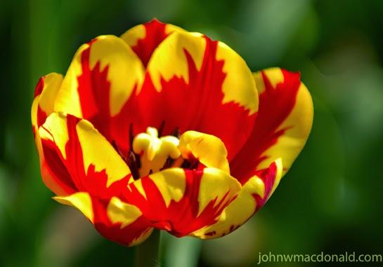 300+ Gambar Animasi Bunga Tulip Bergerak  Paling Baru