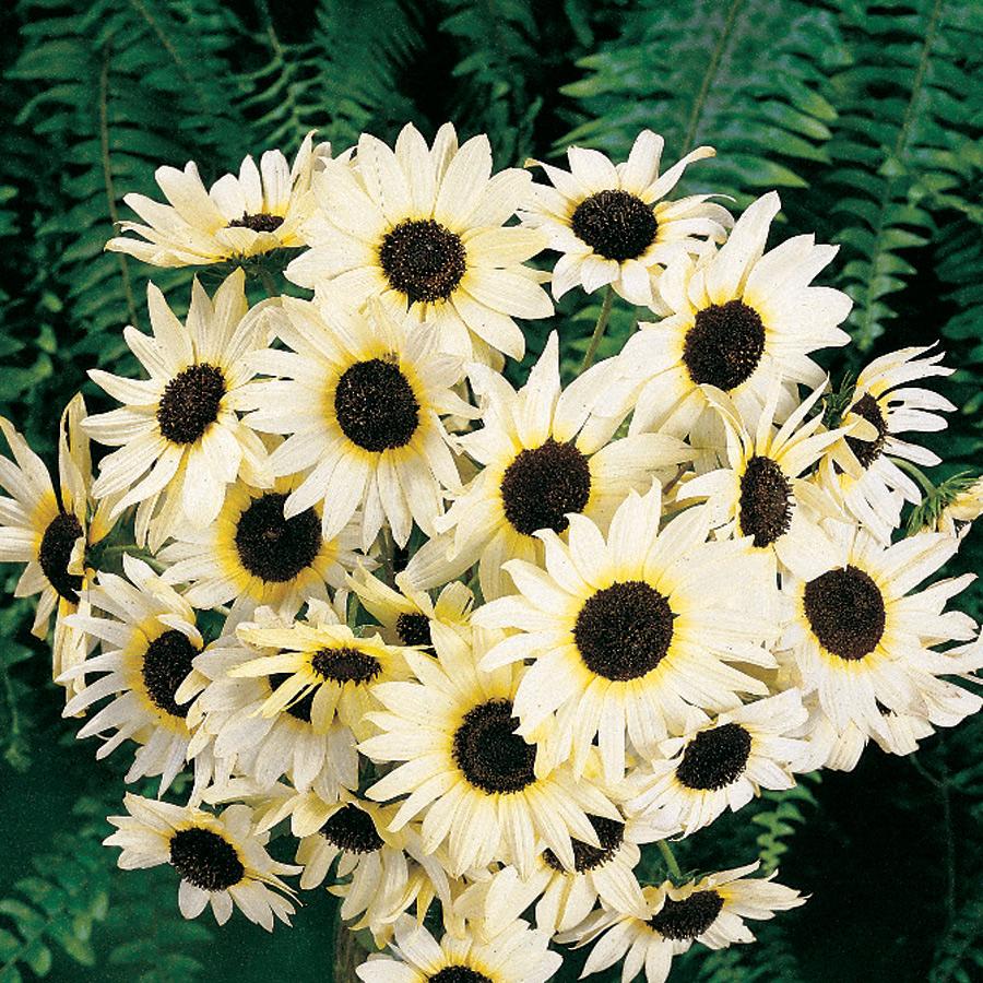 Jual Benih Bunga Matahari Putih Italian White Sunflower Mudah Tumbuh - Amefurashi | Tokopedia