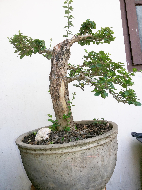 office bonsai. Office Bonsai T