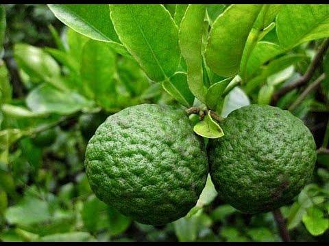 Jeruk Purut dengan kandungan Manfaatnya