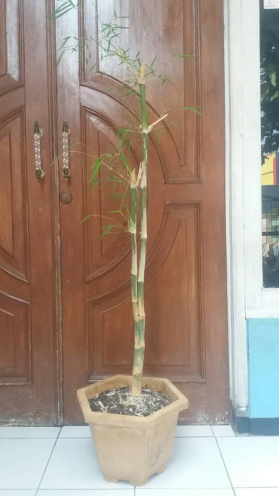 ask-bambu-cabang-5-lima-fungsi-dan-kegunaanya