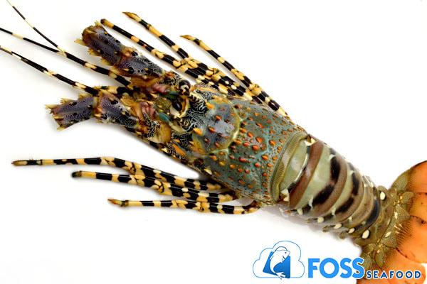 Lobster Mutiara Frozen (beku) size 200gr - Blanja.com