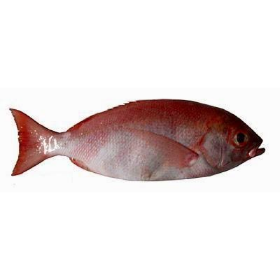 Foss Seafood Ikan Kakap Sawo Frozen (beku) size 500gr - Blanja.com