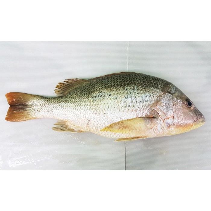 Foss Seafood Ikan Jenaha Frozen (beku) size 500gr - Blanja.com