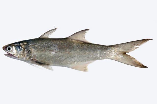 Foss Seafood Ikan Kuro / Senangi Frozen (beku) size 400gr - Blanja.com