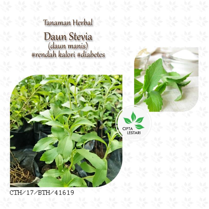 Jual Bibit Tanaman Stevia - Pohon Pengganti Gula - Daun Manis Pemanis - Cipta Lestari Herba