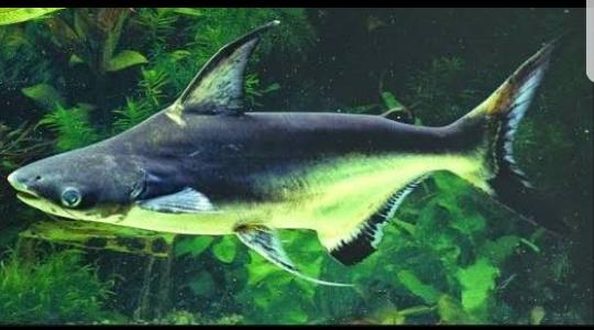 Jual Ikan Genghiskhan Genghis Khan Atau Hiu Air Tawar Hias Aquarium