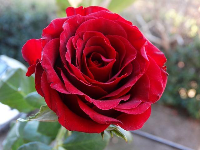 Benih Bibit Bunga Mawar Merah Red Rose Seeds Import